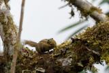 Himalayan striped squirrel