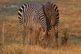 Mammals of Zambia