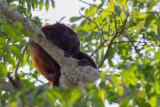 Guyanan red howler