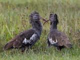 Birds of Ethiopia