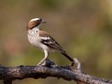 Birds of Malawi - Zambia - Tanzania 2012