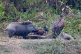 Indian boar