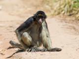 White-bellied spider monkey