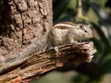 Indian palm squirrel