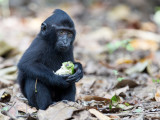 Crested black macaque (j)
