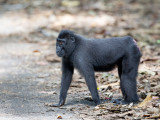 Crested black macaque (f)