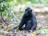 Crested black macaque (m)