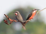 Birds of Gabon
