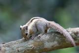 Eastern striped squirrel