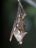 Diadem roundleaf bat
