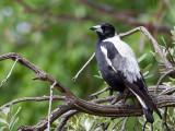 Australian Magpie - Zwartrugfluitvogel - Cassican flûteur