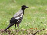 Australian Magpie - Zwartrugfluitvogel - Cassican flûteur (imm)