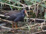 Dusky Moorhen - Zwart Waterhoen - Gallinule sombre