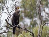 Great Cormorant - Grote Aalscholver - Grand Cormoran