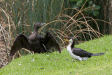 Little Black and Little Pied Cormorants