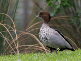 Maned Duck - Manengans - Canard à crinière (m)