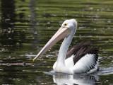 Australian Pelican - Australische Pelikaan - Pélican à lunettes