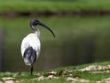 Australian White Ibis - Australische Witte Ibis - Ibis à cou noir