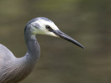 White-faced Heron - Witwangreiger - Aigrette à face blanche