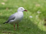 Silver Gull - Witkopmeeuw - Mouette argentée
