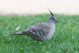 Crested Pigeon - Spitskuifduif - Colombine longup