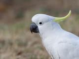 Sulphur-crested Cockatoo - Grote Geelkuifkaketoe - Cacatoès à huppe jaune