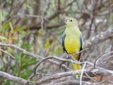 Blue-winged Parrot - Blauwvleugelparkiet - Perruche à bouche d'or
