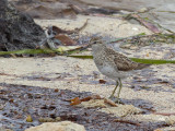 Sharp-tailed Sandpiper - Siberische Strandloper - Bécasseau à queue pointue