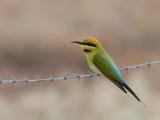 Rainbow Bee-eater - Regenboogbijeneter - Guêpier arc-en-ciel