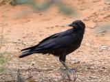 Australian Raven - Australische Raaf - Corbeau d'Australie (imm)