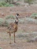 Emu - Emoe - Émeu d'Australie