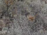 Thick-billed Grasswren - Oostelijke Grassluiper - Amytis à bec fort