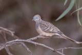 Peaceful Dove - Goulds Zebraduif - Géopélie placide