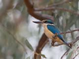 Sacred Kingfisher - Heilige IJsvogel - Martin-chasseur sacré