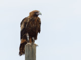 Wedge-tailed Eagle - Wigstaartarend - Aigle d'Australie