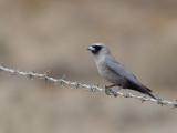 Black-faced Woodswallow - Zwartteugelspitsvogel - Langrayen gris