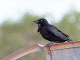 Little Crow - Bennetts Kraai - Corbeau du désert
