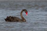 Black Swan - Zwarte Zwaan - Cygne noir