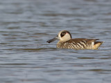 Pink-eared Duck - Lepelbekeend - Malacorhynque à oreilles roses