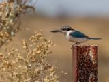 Red-backed Kingfisher - Roodrugijsvogel - Martin-chasseur à dos de feu