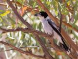 Grey Butcherbird - Grijsrugorgelvogel - Cassican à collier