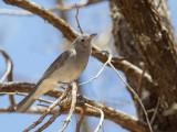 Grey Shrikethrush - Grijze Lijsterdikkop - Siffleur gris