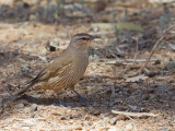 Brown Treecreeper - Grijze Kruiper - Échelet brun
