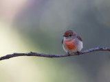 Red-capped Robin - Roodkoplawaaimaker - Cossyphe à calotte rousse (imm)
