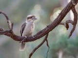 Laughing Kookaburra - Kookaburra - Martin-chasseur géant