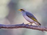 Yellow-throated Miner - Witstuithoningeter - Méliphage à cou jaune