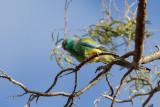 Mulga Parrot - Regenboogparkiet - Perruche multicolore (m)