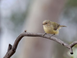 Weebill - Eucalyptushaantje - Séricorne à bec court