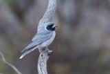 Masked Woodswallow - Maskerspitsvogel - Langrayen masqué