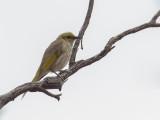 Yellow-plumed Honeyeater - Malleehoningeter - Méliphage orné